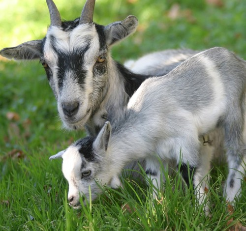 Goat feed / other ruminants